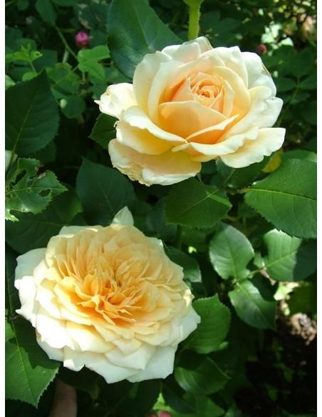 angielskie róże English Garden
