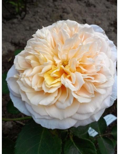 angielskie roze English Garden