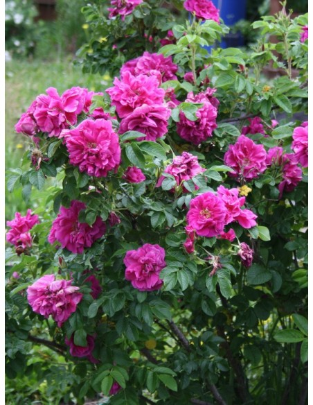 rosa rugosa Hansa róze