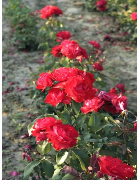 Satchmo roze czerwone