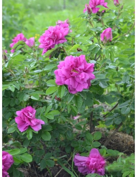 Hansa róże Rosa rugosa