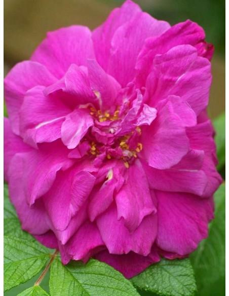 roze Hansa Rosa rugosa