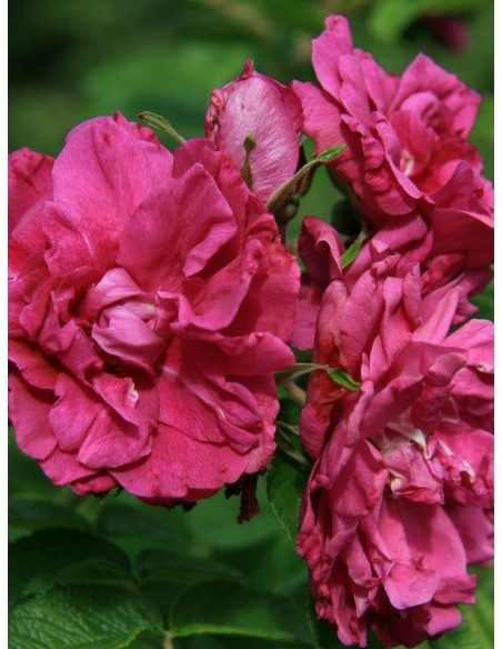 Rosa rugosa Hansa róże
