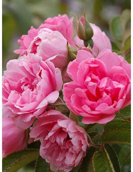 róże krzaczaste Pink Grootendorst