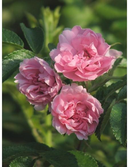 Pink Grootendorst krzaczaste róże