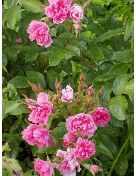 krzaczaste róże Pink Grootendorst