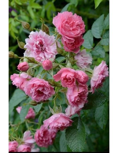 Pink Grootendorst róże krzaczaste