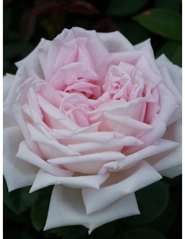 róże wielkokwiatowe Myriam