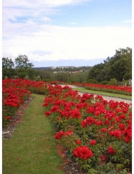 czerwone roze satchmo