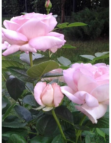 Myriam pachnące róże wielkokwiatowe