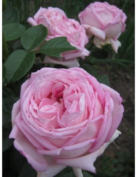 pachnące róże wielkokwiatowe Myriam