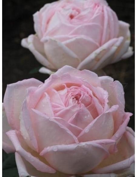 Myriam róże wielkokwiatowe