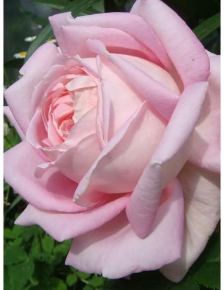 pachnace róze wielkokwiatowe Myriam
