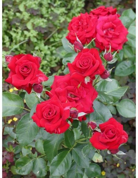 czerwone róże Niccolo Paganini rabatowe