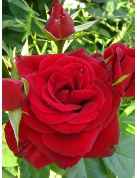róże rabatowe czerwone Niccolo Paganini