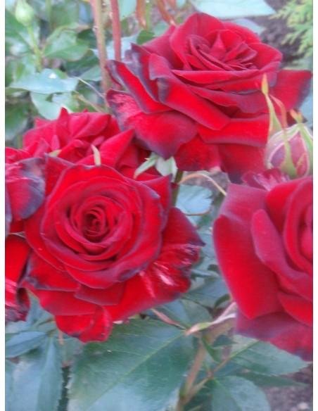 Niccolo Paganini czerwone róże rabatowe