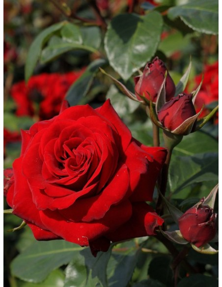 czerwone rabatowe róże  Niccolo Paganini