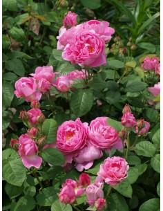pachnące róże angielskie AUSmary krzaczaste