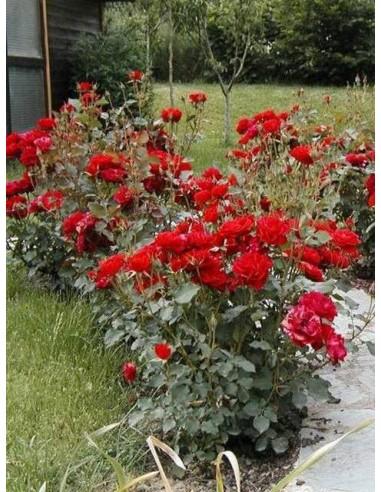 róża floribunda nina