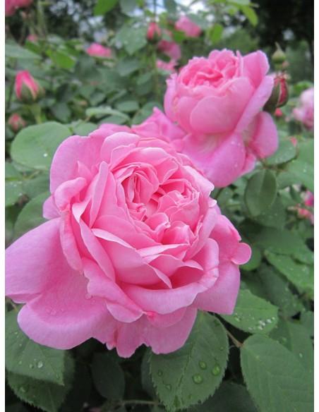 AUSmary pachnące róże angielskie krzaczaste