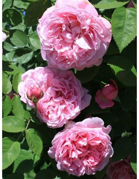 angielskie AUSmary pachnące róże krzaczaste