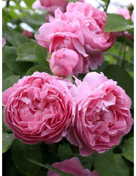 róże pachnące angielskie AUSmary krzaczaste