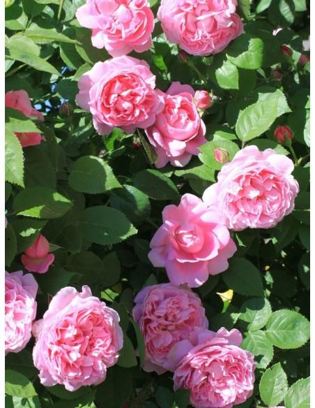 krzaczaste pachnące róże angielskie AUSmary