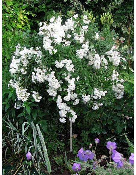 Alba Meidiland róze pienne kaskadowe