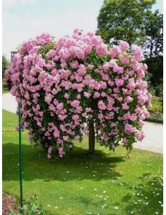 The Fairy pienne róże