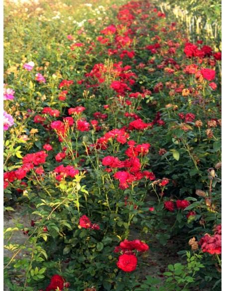czerwone róże rabatowe Nina