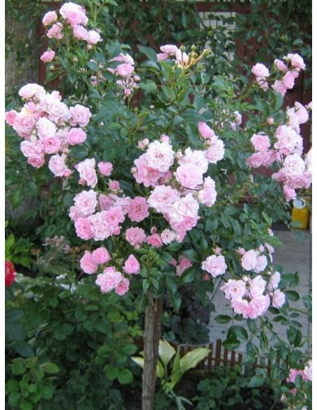 The Fairy pienne różowe  róże