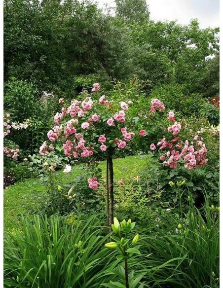 róże pienne różowe The Fairy