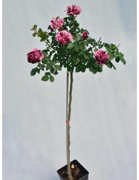 New Image róże pienne
