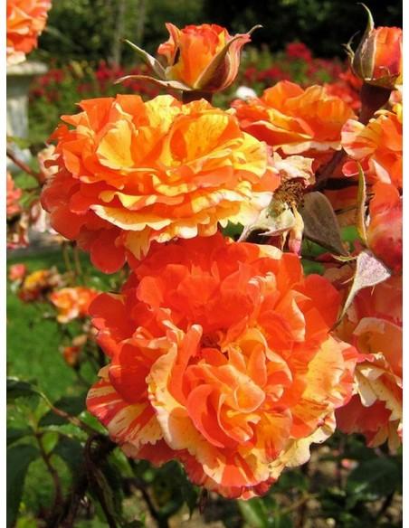 róże sztamowe oranges lemons