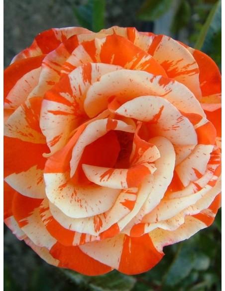 oranges & lemons roze pienne