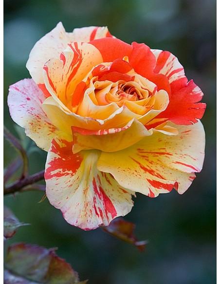 róże na pniu oranges lemons