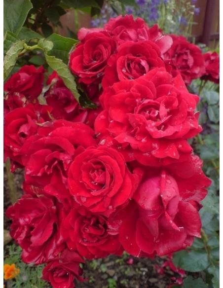 rabatowa róża Nina