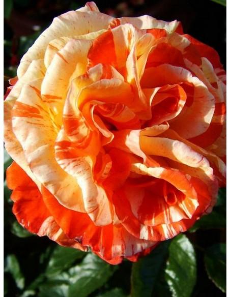 oranges & lemons róże pienne