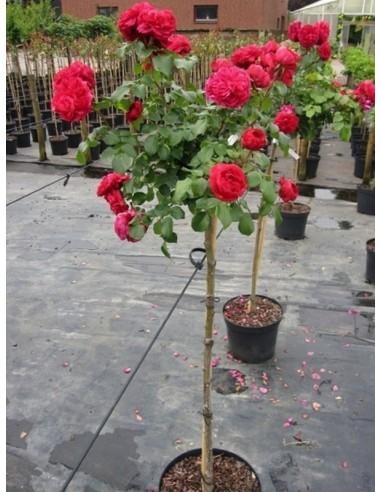 Red Lonardo pienne róże