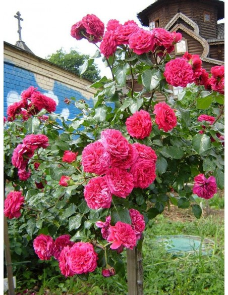 pienne róże Red Lonardo