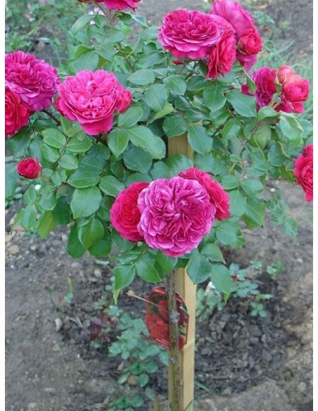 róże pienne Red Leonardo