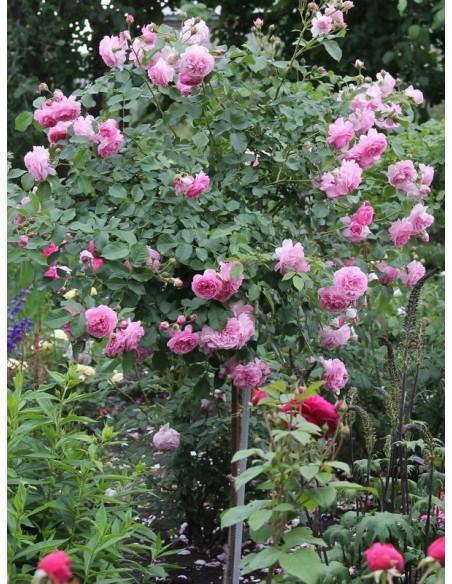 Lavender Lassie pienne roże