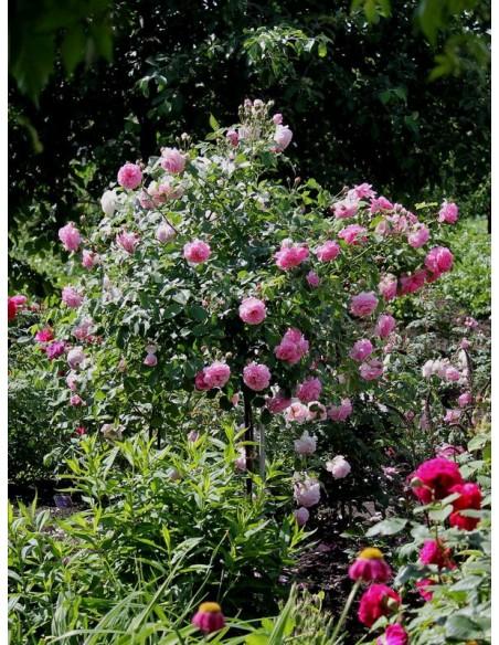 pienne roże Lavender Lassie