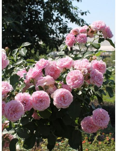 róze pienne Lavender Lassie