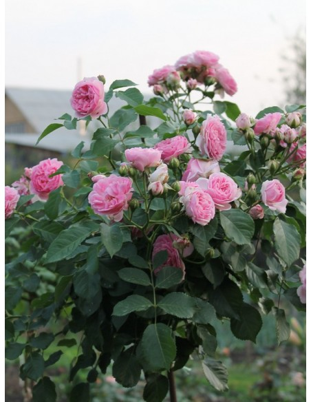 różowe róze pienne Lavender Lassie