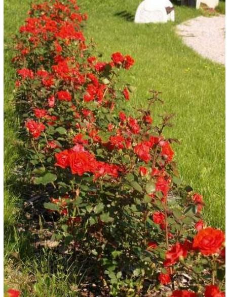 Nina róża rabatowa