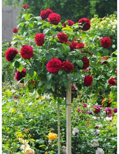AUScrim pienne roze
