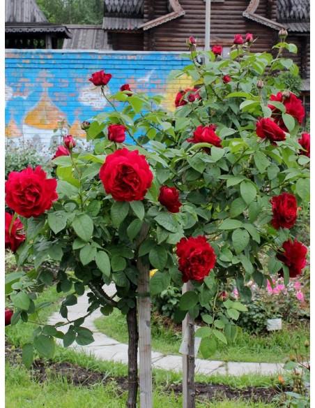 AUScrim pienne czerwone roze