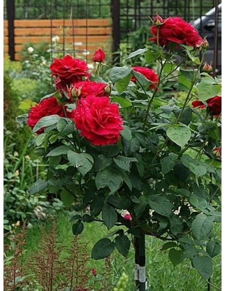 pienne czerwone roze AUScrim