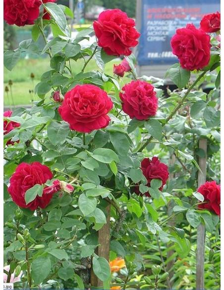 róze pienne czerwone AUScrim